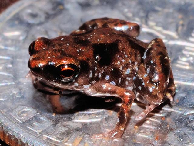 Paedophyrne genus smallet frog